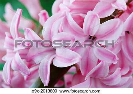 Stock Photography of Hyacinthus orientalis 'Fondant' Hyacinth.