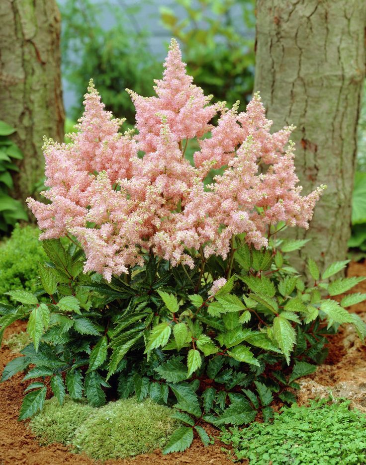 1000+ ideas about Astilbe Arendsii on Pinterest.