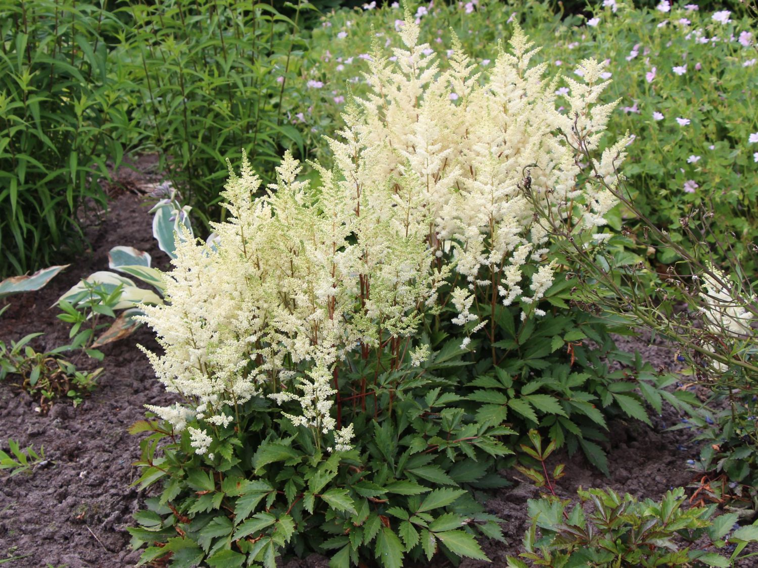astilbe japonica montgomery.