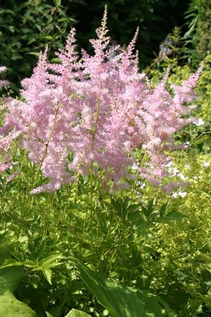 1000+ images about Astilbe on Pinterest.