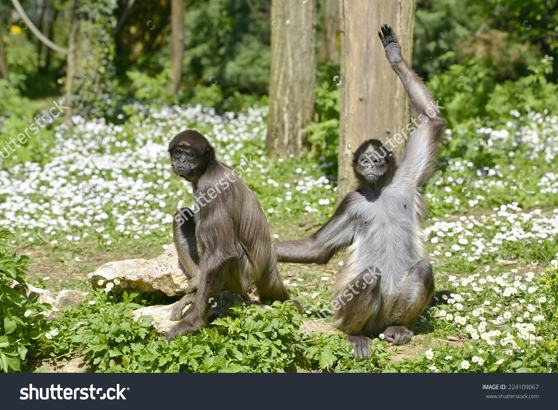Two Variegated Spider Monkeys Ateles Hybridus Stock Photo.