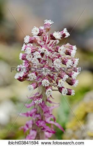 "Stock Photo of ""Common Butterbur (Petasites hybridus, Petasites."