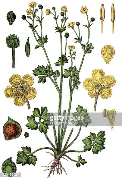 Ranunculus Hybridus Philonotis Stock Photos and Pictures.