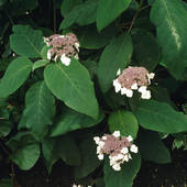 Stock Photo of Sargent's hydrangea Hydrangea aspera subsp.