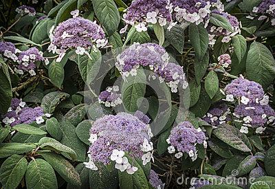 Hydrangea Aspera Macrophylla Hortensia Flowers Stock Photo.