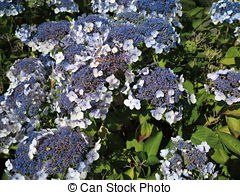 Stock Photos of Hydrangea Aspera Macrophylla hortensia flowers.
