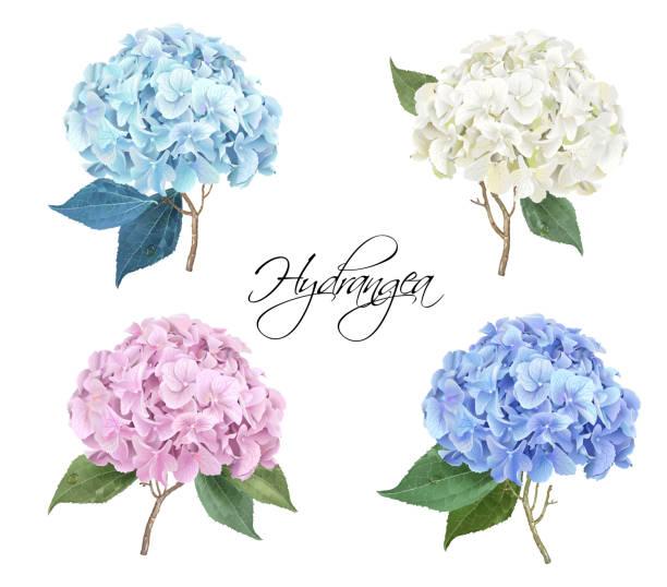 Best Hydrangea Illustrations, Royalty.