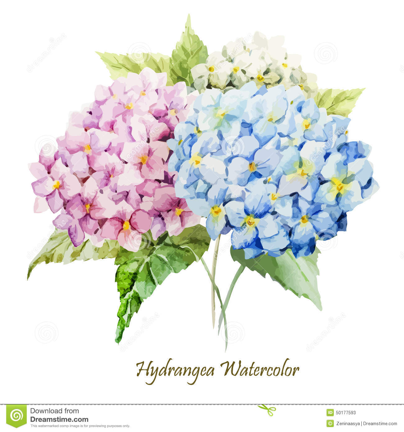 Hydrangea Stock Illustrations.