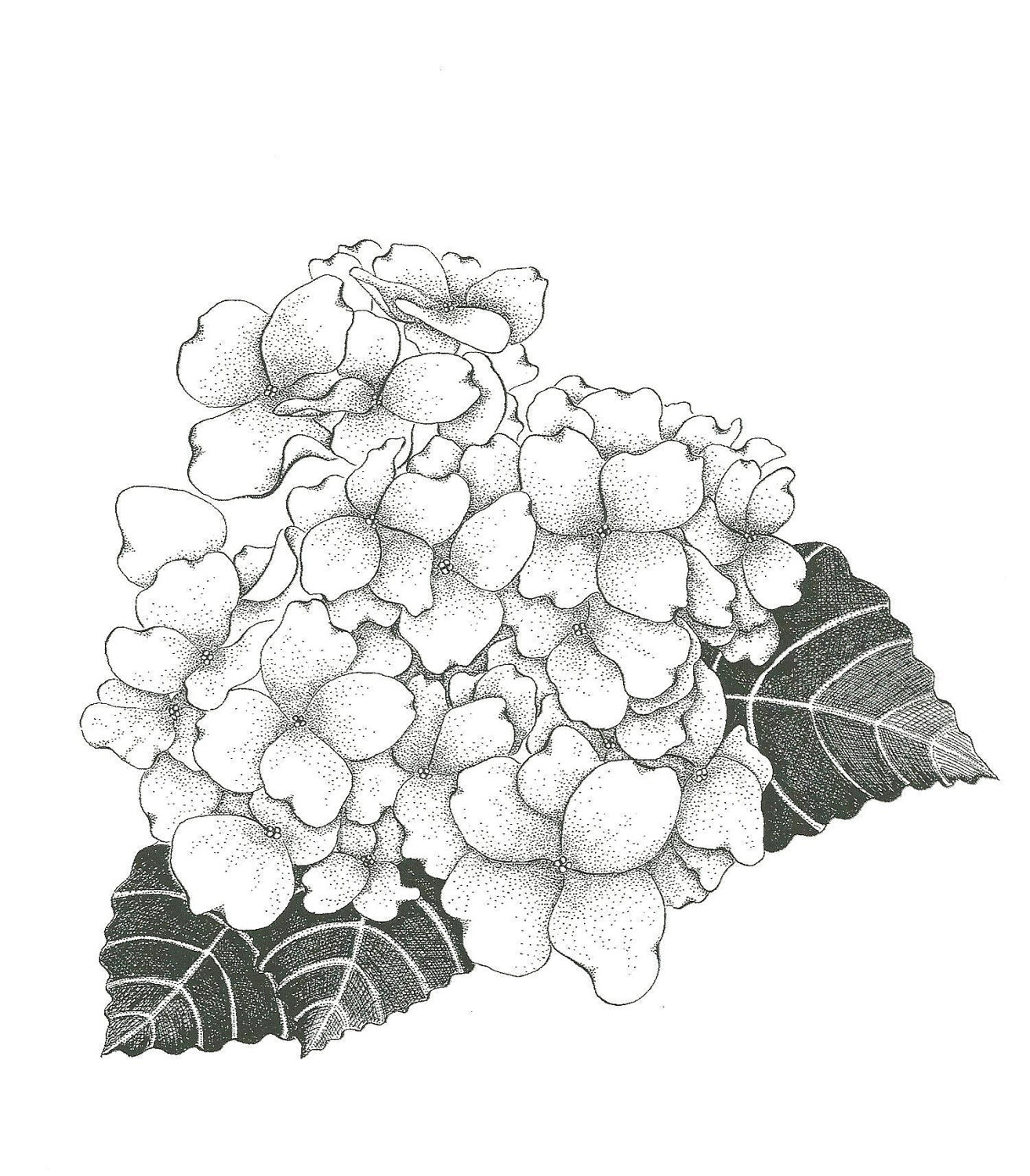 Black and white hydrangea sketch love this for a tattoo!.