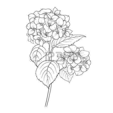 1,255 White Hydrangea Stock Vector Illustration And Royalty Free.