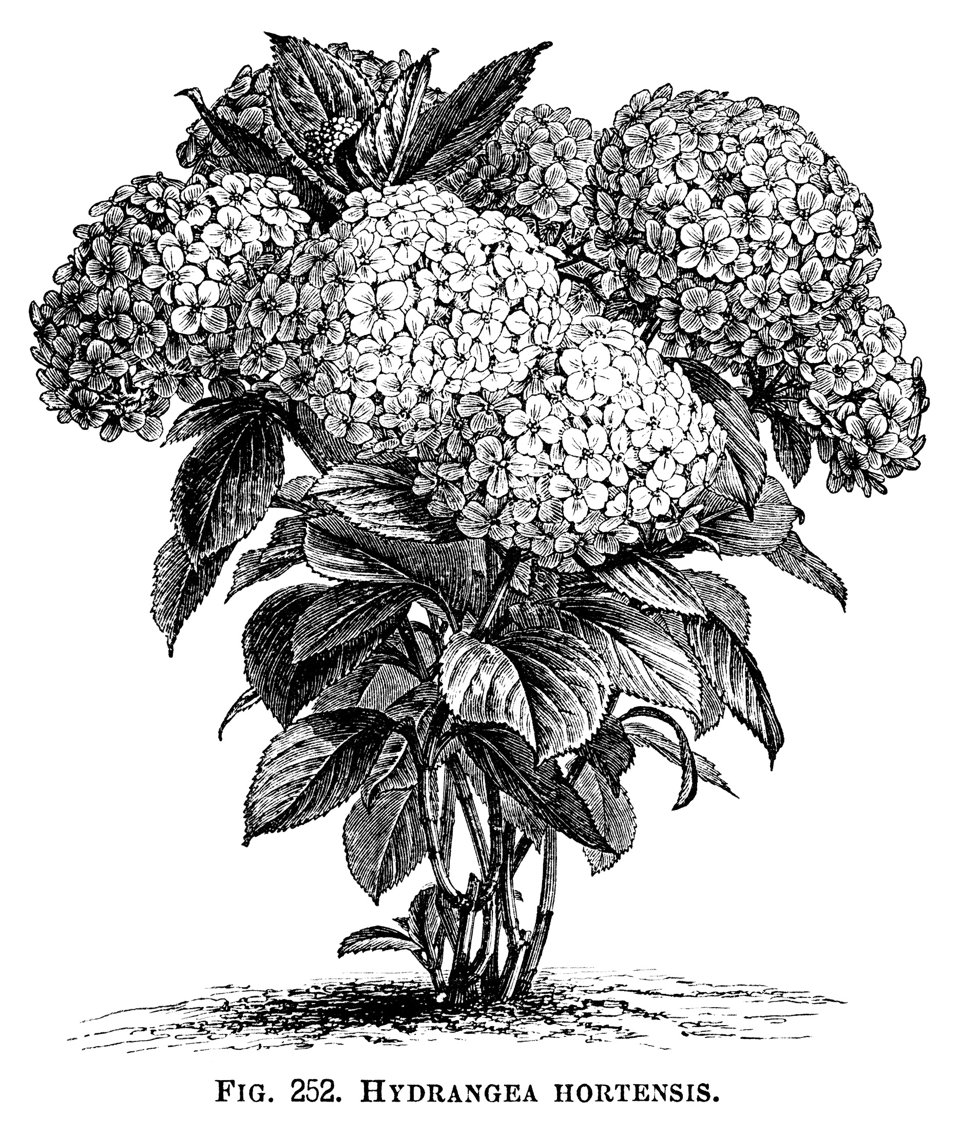 Hydrangea Hortensis, hydrangea flower, black and white graphics.