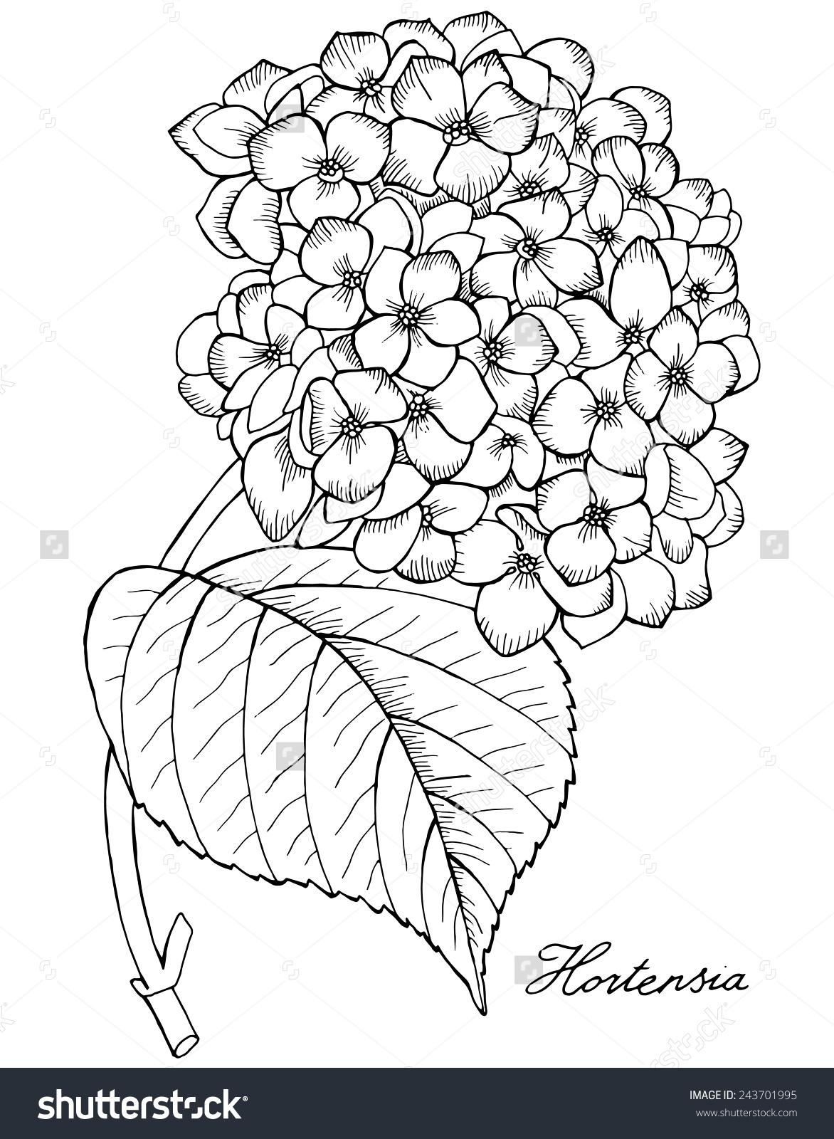 Hortensia Hydrangea Black White Stock Vector 243701995.