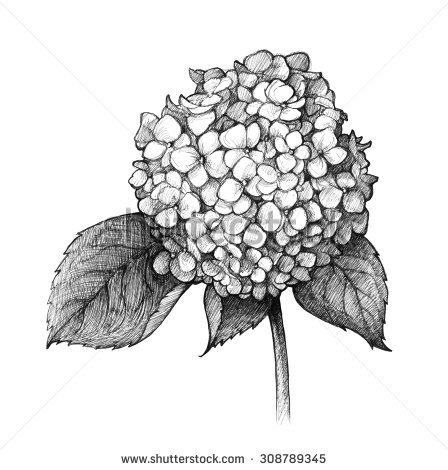 White Hydrangea Stock Images, Royalty.