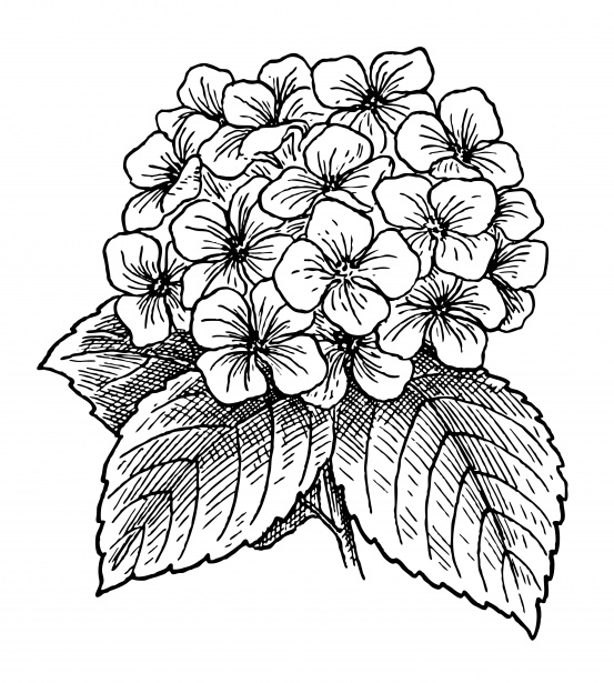 Hydrangea Flowers Clipart Free Stock Photo.