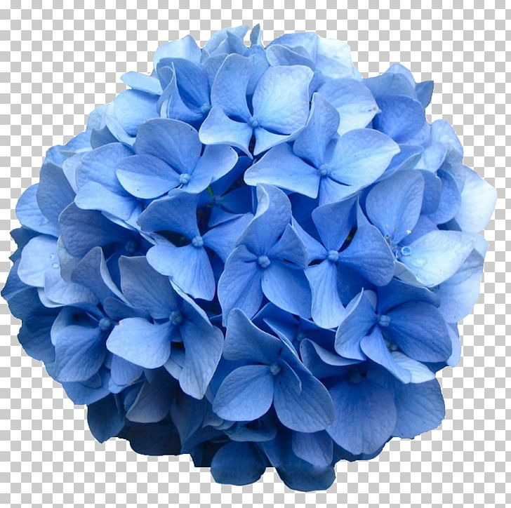 French Hydrangea Oakleaf Hydrangea Flower Shrub Bud PNG, Clipart.