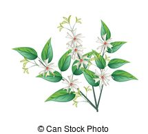 Hydrangeaceae Vector Clip Art Illustrations. 17 Hydrangeaceae.