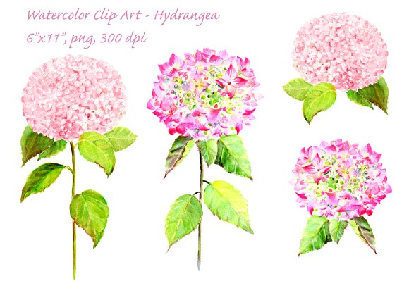 Watercolor Pink Hydrangea Clip Art ~ Illustrations on Creative Market.