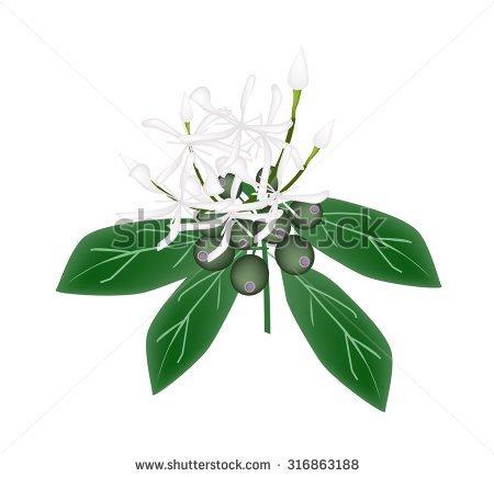 Hydrangeaceae Stock Vectors & Vector Clip Art.