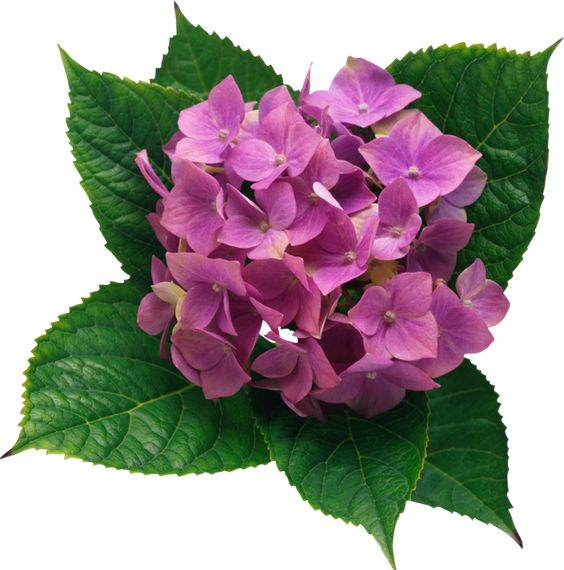 Hydrangea PNG Clipart Picture.