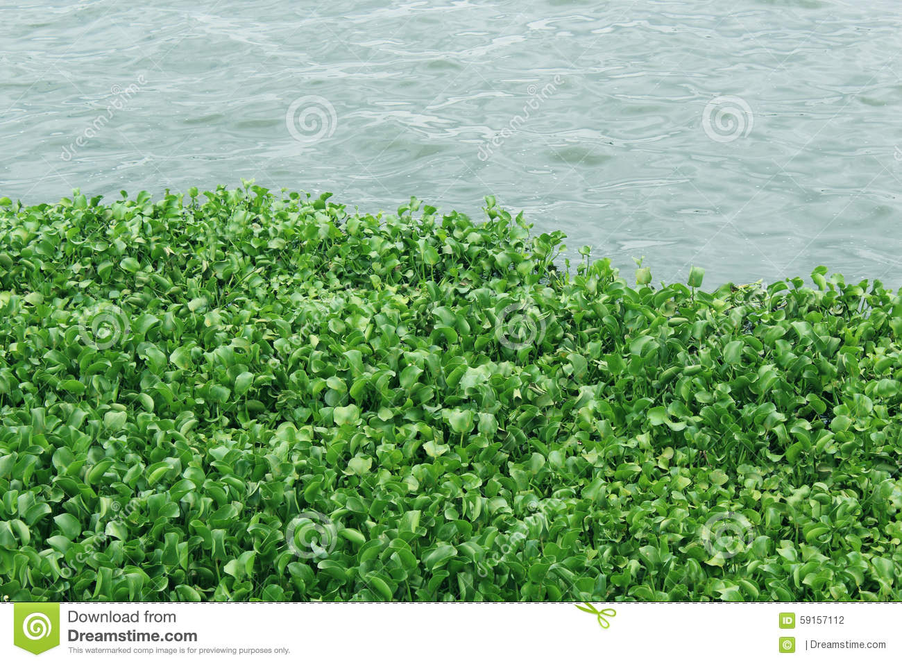 Water Hydrophytes Stock Photo.