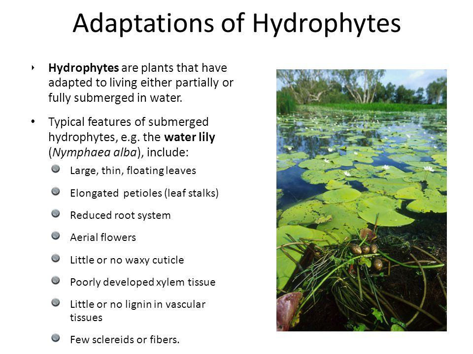 hydrophyte.