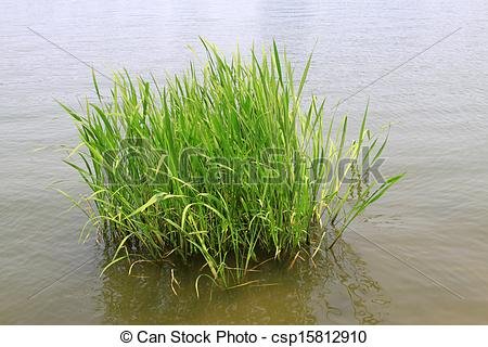 Stock Photography of hydrophyte in a river, north china.
