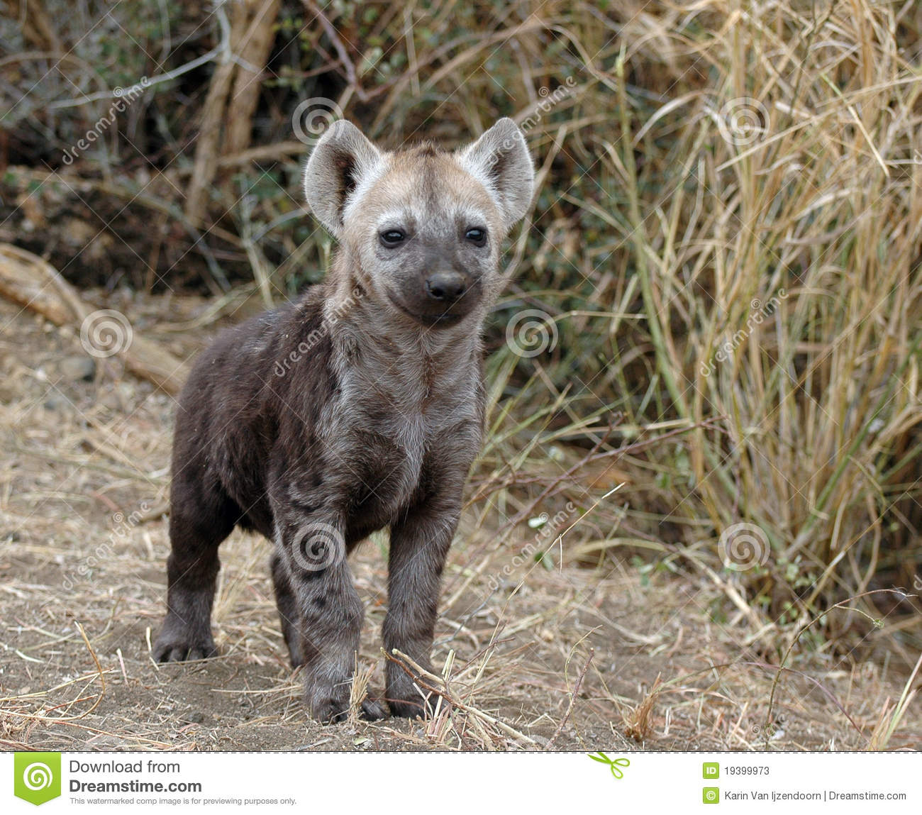 Hyena Pup Stock Photos.