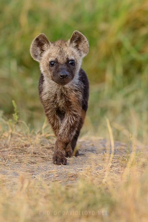 1000+ images about hyena on Pinterest.