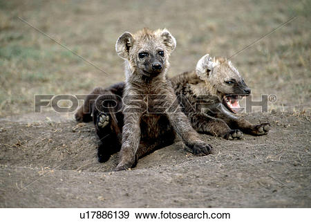 Stock Photograph of Spotted Hyena Puppies Playing in Dirt.