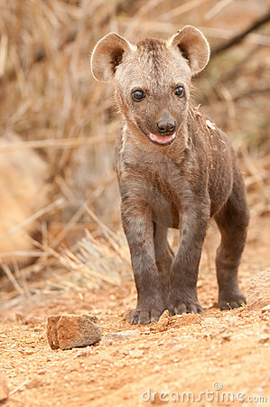 Spotted Hyena Pup In The Kruger National Park. Stock Photo.
