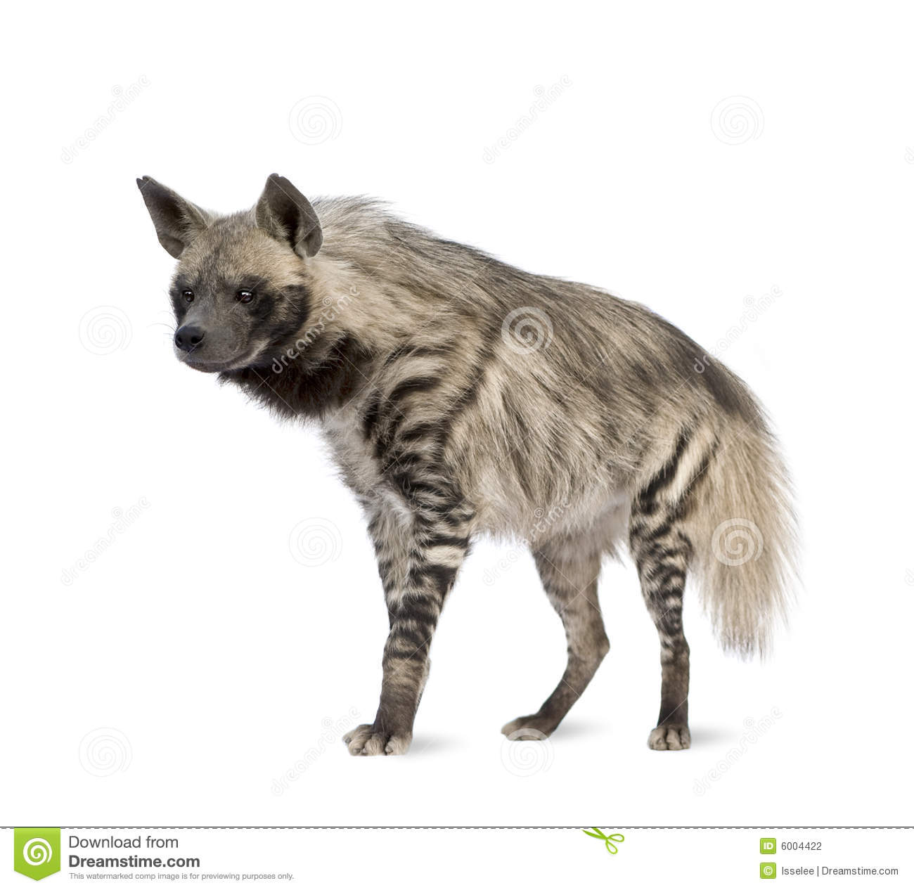 Hyena Side Profile Stock Photos, Images, & Pictures.