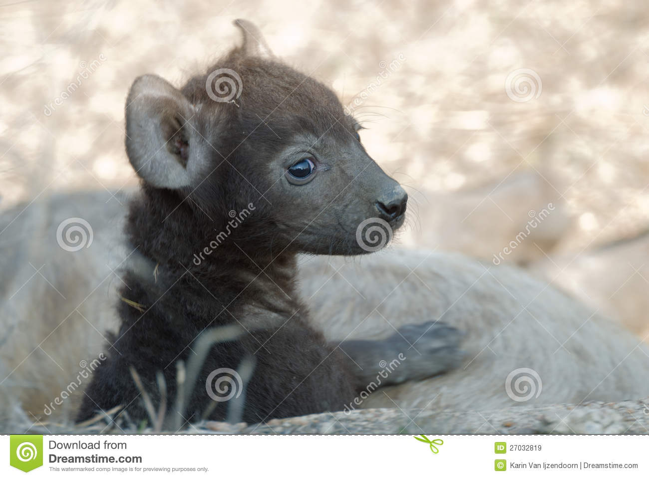 Hyena Puppy Royalty Free Stock Images.