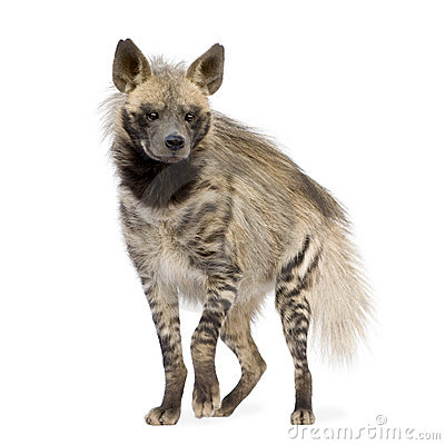 Hyena Profile Stock Photos, Images, & Pictures.