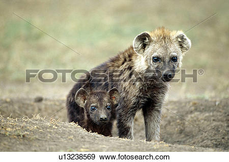 Stock Photograph of Spotted Hyena and Puppy u13238569.
