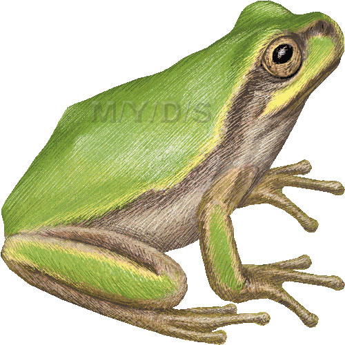 Japanese Tree Frog, Hyla japonica clipart graphics (Free clip art.