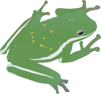 Hyla cinerea (American Green Tree Frog) : adult.