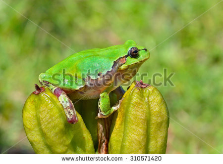 Snouted Tree Frog Stock Photos, Royalty.