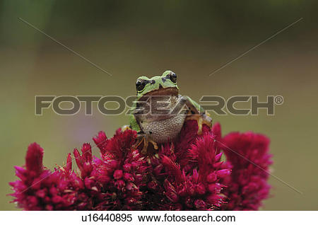 Stock Image of Japanese tree frog (Hyla japonica) on flowers.