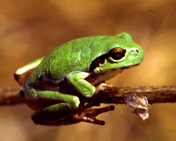Japanese tree frog (Hyla japonica).