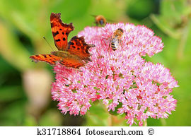 Hylotelephium spectabile Stock Photo Images. 25 hylotelephium.