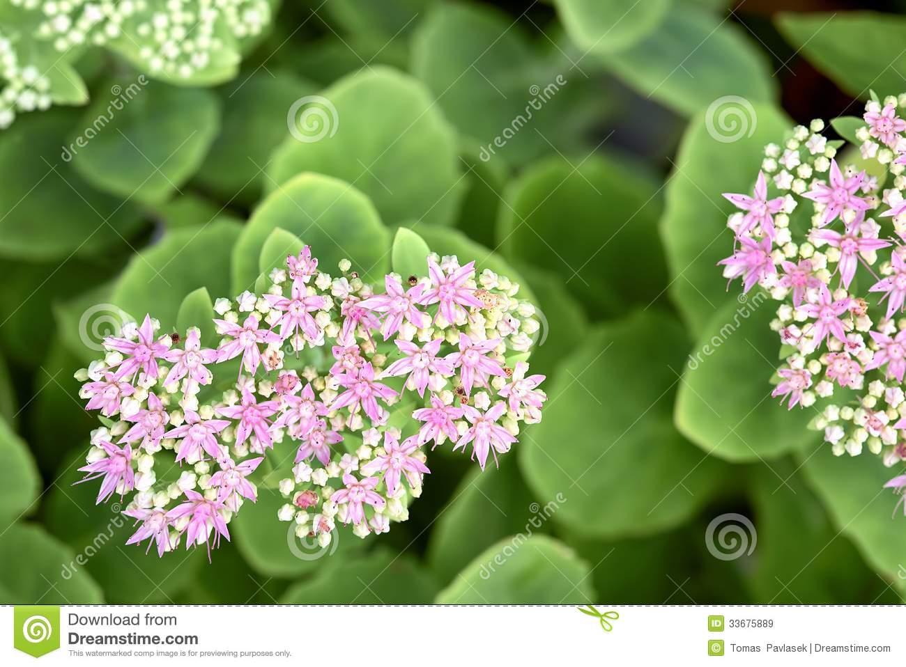 Stonecrop Flower.