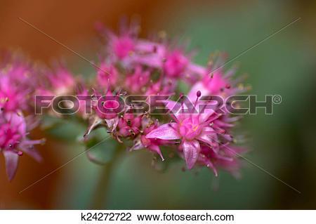 Stock Photo of Hylotelephium cauticola, flower k24272722.