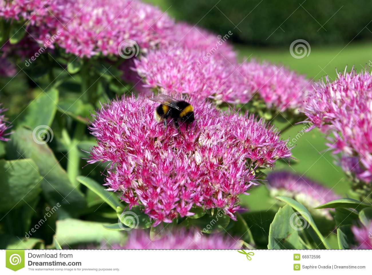 Hylotelephium Spectabile. Showy Stonecrop. Ice Plant. Butterfly.