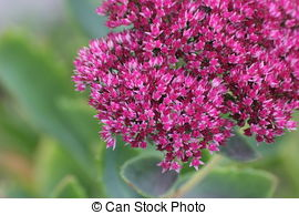 Stock Photos of Showy stonecrop.
