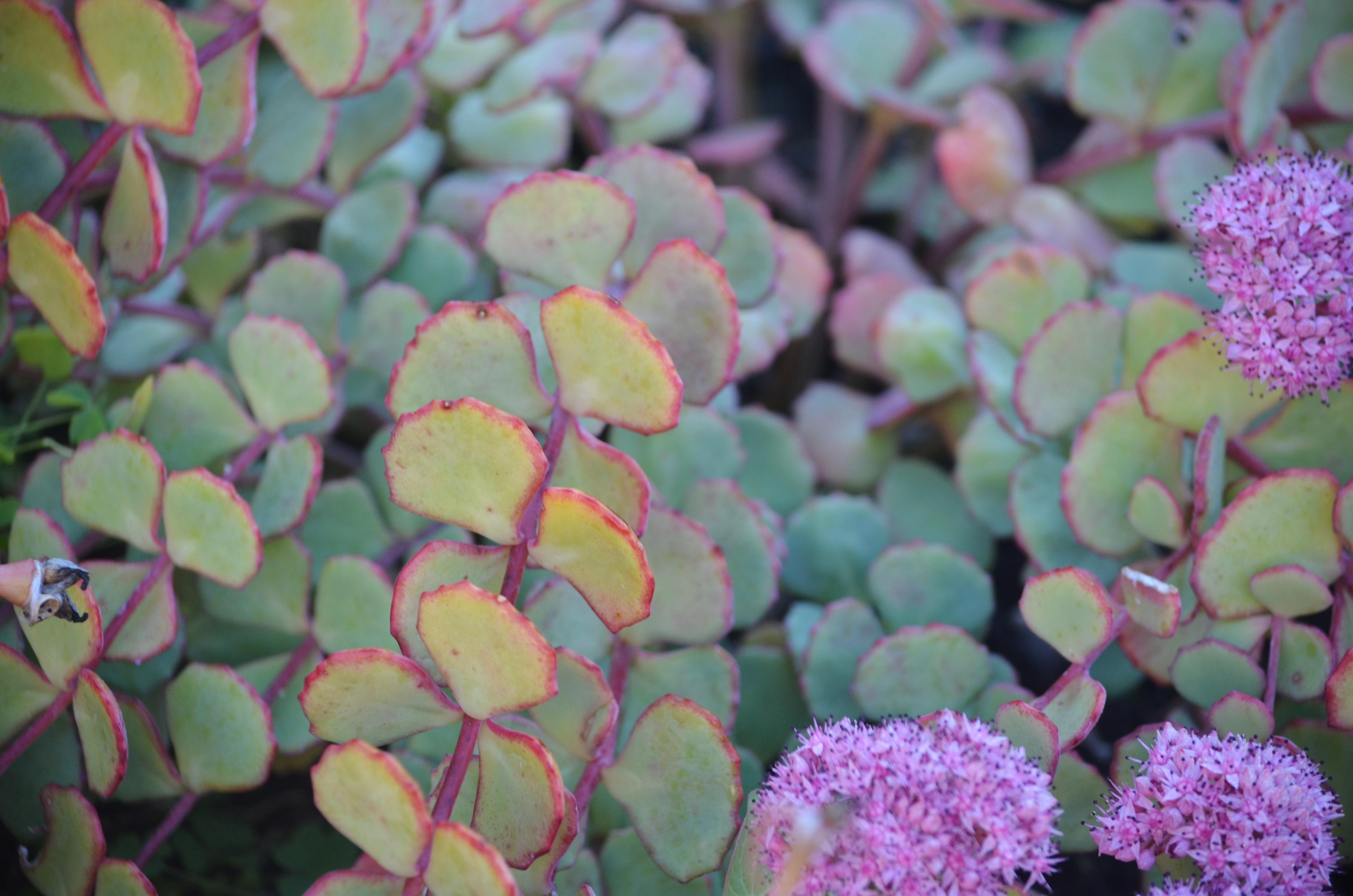 plant profile: sedum 'october daphne' (hylotelephium sieboldii.