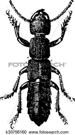 Clipart of Fig 11. Ocipus Hymenoptera, vintage engraving.