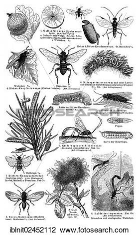 "Stock Photo of ""Display chart, Hymenoptera I, illustration, Meyers."