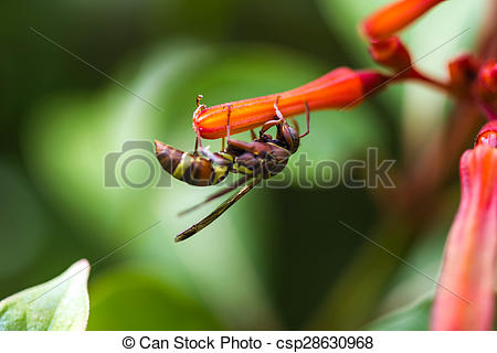 Stock Image of Hymenoptera on orange flower csp28630968.