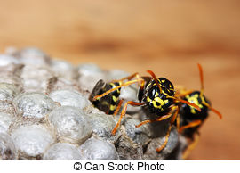 Stock Photo of vespiary on the wall. (Hymenoptera).