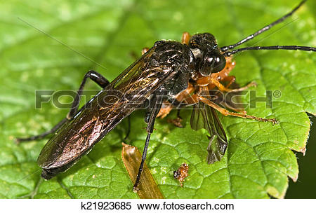Stock Image of Macro photo of sawfly (order Hymenoptera, Suborder.